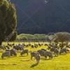 Adana Damızlık Koyun Keçi