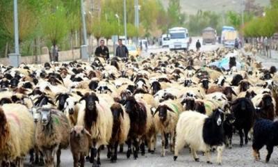Koyun Hastalıkları