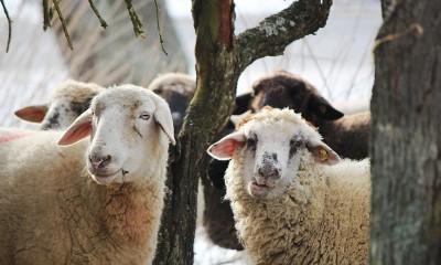 Etçi Koyun Irkları Neler?