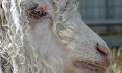 Koyun-Keçi çiçek hastalığı ve korunma yolları