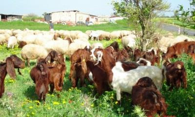 Koyun Keçi Hastalıkları