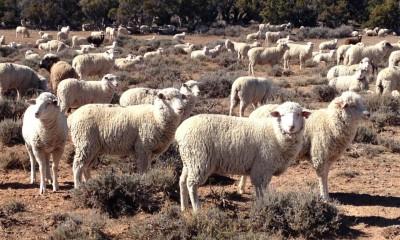 Tarım Bakanlığı 300 koyun son dakika 300 koyun başvuru şartları dağıtımı ne zaman