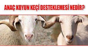 Anaç Koyun Keçi Desteklemesi Nedir?